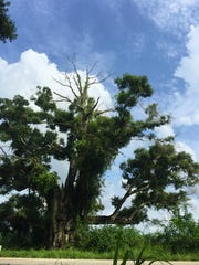 The Olga Oak
