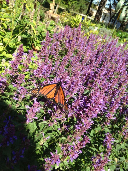 monarch on agastacahe
