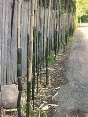 Bamboo stalks invade the Anselmo property in Palisades.