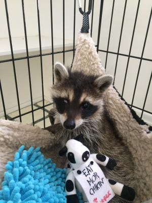 This young raccoon will soon be returned to the wild after several people helped save him.