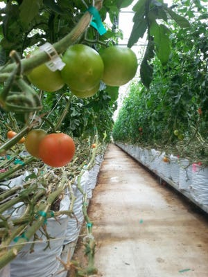 Rows of tomato plants line the Perfect Circle greenhouse in Lake Mills, Iowa. It also uses excess heat from a landfill to power its operation. Springfield city officials visited the greenhouse in 2013.