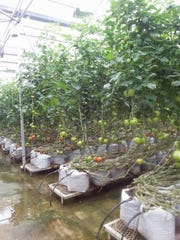 Rows of tomato plants line the Perfect Circle greenhouse.