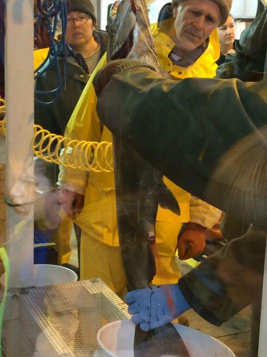 Collecting salmon eggs