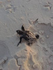 A green sea turtle hatchling crawls toward the Gulf of Mexico this year at Fort Pickens.