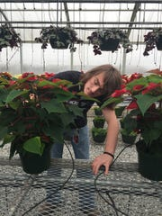 Austin Bennefield inspects at poinsettia inside the greenhouse at Hillcrest High School in Simpsonville.