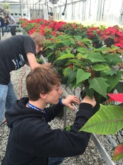 Austin Bennefield, left, and Cayden McCraw, inspect poinsettia plants inside the greenhouse at Hillcrest High School in Simpsonville.