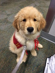 Tucker, a four-month-old golden retriever puppy prepares