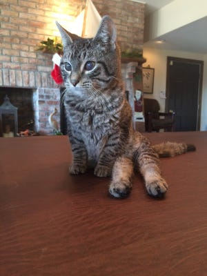 Romeo, a seven-month-old kitten, is paralyzed in the back legs and needs a home.