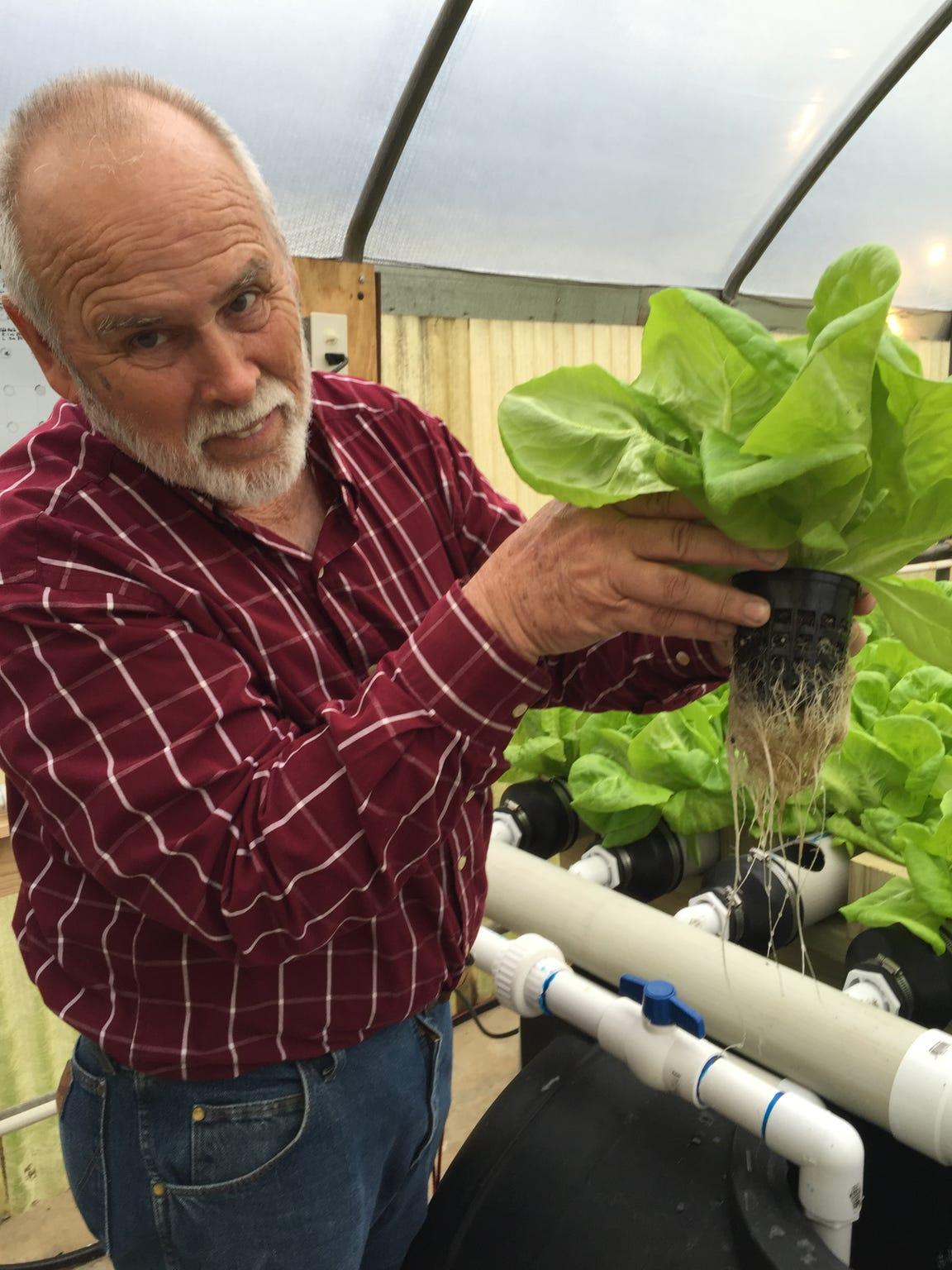 Rory Gresham, greenhouse manager for Richland Parish School Food Services, shows the root system on lettuce being grown in a hydroponic greenhouse.