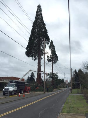 Two huge old sequoia trees are being removed from the Silver Falls School District's old high school property.