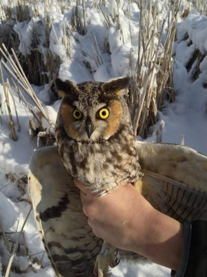 Long-eared owls are named for the tufts of feathers on their head which look like ears.