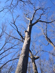 Winter at Fernwood Nature Trail in Greenville is a peaceful time to study trees such as the acorn-rich white oak
