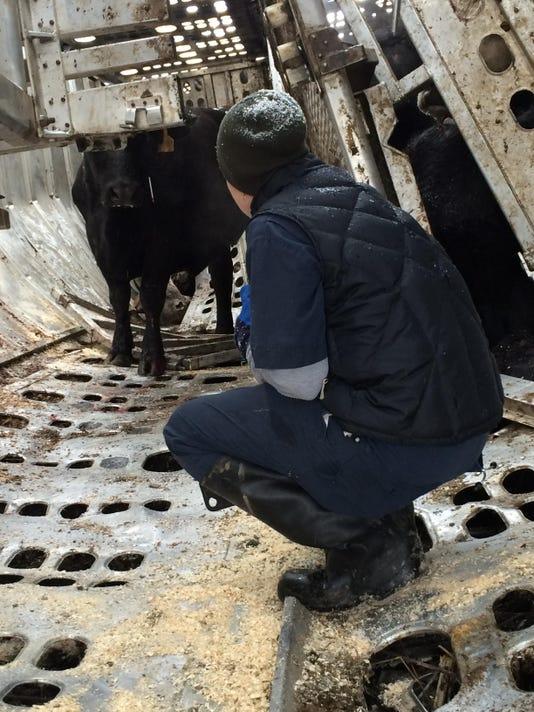 Vet tending to cattle at I-81 crash Frederick County 2-15-16