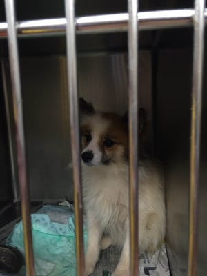 A dog rescued from a home with more than 300 dogs sits in a cage at the Wicomico County Humane Society Tuesday, April 12, 2016.