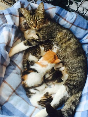 A Chihuaha puppy snuggled up to the face of his adoptive mom -- a cat nursing kittens.
