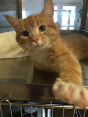 Bosco is a very lovable 3-year-old orange tabby with pointed ear tips! The picture says it all. He's always reaching out for someone to pet him and pay attention to him. Bosco just wants to be friends with everyone. If you're looking for a best buddy, Bosco is definitely your guy!