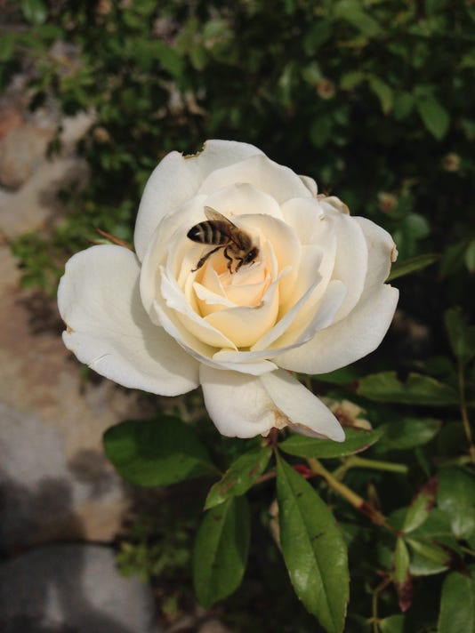 635975245632412171-bee-on-rose-by-Ashley-Nickole-Andrews.jpg