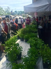 Herbs are popular right now at the Formisano Farms stand at the Collingswood Farmers Market, especially the lemon varieties.