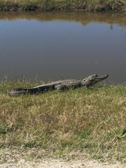 An alligator by the roadside at Cameron Prairie National