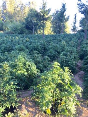 More than 6,500 marijuana plants were seized in a Yamhill County raid near the Willamette River.