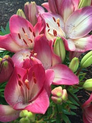 Sweet-smelling lilies are beloved by gardeners and send their fragrance far and wide.