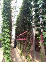 Rows of hydroponic hops grown indoors with total control