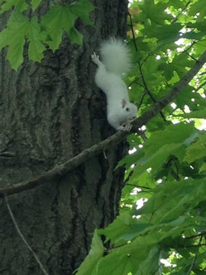 This albino squirrel was spotted several times in an East Fishkill neighborhood.