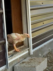 A young chicken that is just getting its feathers steps outside at a organic chicken house in Kennedyville, MD.