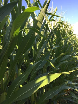 Despite ideal growing conditions, producers may receive lowers prices due to the overabundance of crops in the marketplace.