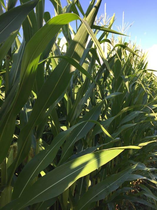 636062699004098684-Corn-Field-3-Kottke.jpg