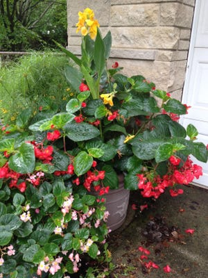 Dragon Wing begonias stand up to the weather in pots or in the ground, in sun or shade. Here, it's paired with yellow cannas with red splotches. Baby Wing pink begonia is in the foreground.