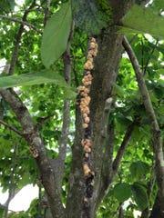 Magnolia Scale 3JPG