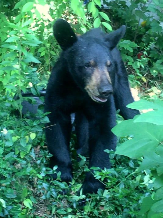 BMN 090116 Bear brush