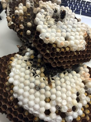 University of Guam scientists preserved a large greater banded hornet hive that was found and removed from under a rock near the Leo Palace Resort swimming pool.