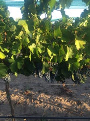 Grapes ripe for the picking.