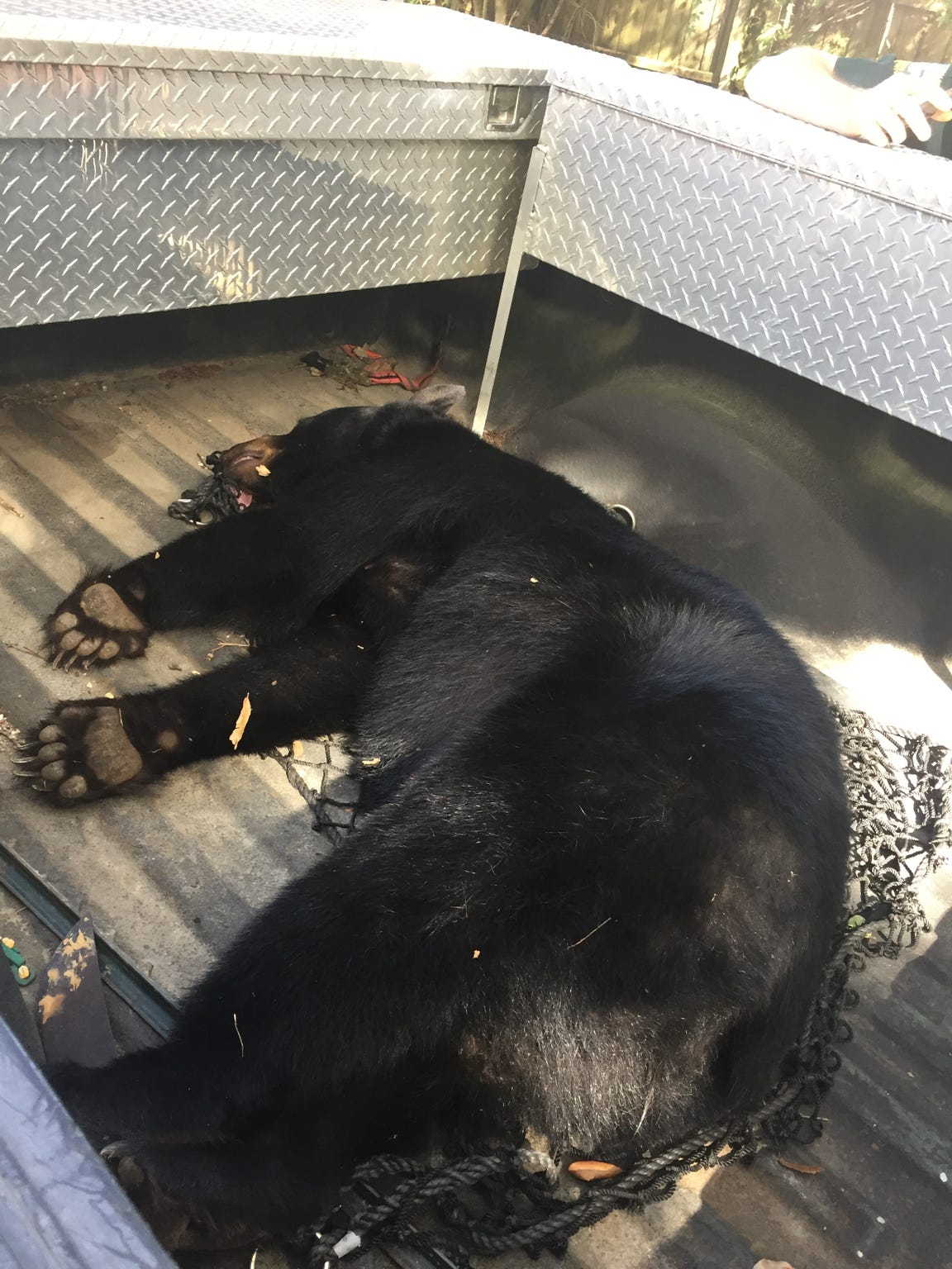 This black bear was safely tranquilized and released back into the Aplachicola National Forest after being found wandering near the Lovelace Drive area of Tallahassee.
