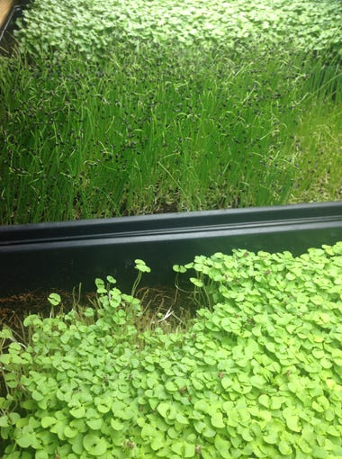 Microgreens growing at Barefoot Beach Farmacy & Cafe