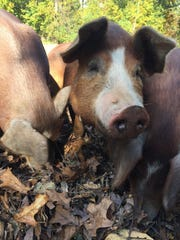 Pasture/forest raised pigs at Cool Breeze Farm in Mt.