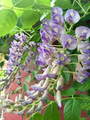Patience is a virtue when you garden. After a five-year wait, a wisteria vine finally bloomed in June.