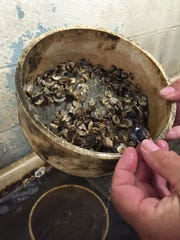 John Ewart, the shellfish aquaculture specialist at the University of Delaware, shows young oysters that he is growing in his lab at Lewes. Ewart said finding suitable seed stock will be a challenge for people who want to raise clams and oysters in Delaware.