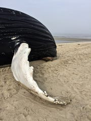 The Virginia Aquarium's Stranding Response Team performed the necropsy of a juvenile humpback whale that washed ashore near Cape Charles on Feb. 8, 2017.