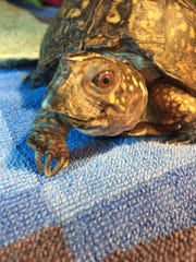 An Eastern box turtle is examined after being brought to the Wildlife Hospital. The turtle's beak was severely overgrown, making it impossible for her to eat.