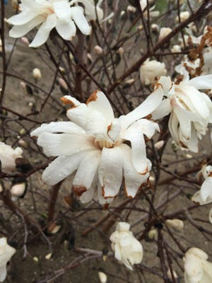 Frost and freeze will damage or kill blooms and buds already on trees and plants.