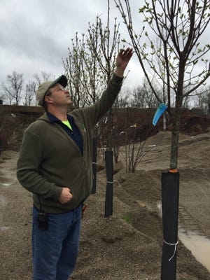 Dave Evers of Bzak in Milford examines a tree for signs of damage from weather.