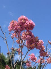 Planting trees, like this pink trumpet tree,  at the Edison & Ford Winter Estates for Arbor Day has become a tradition.