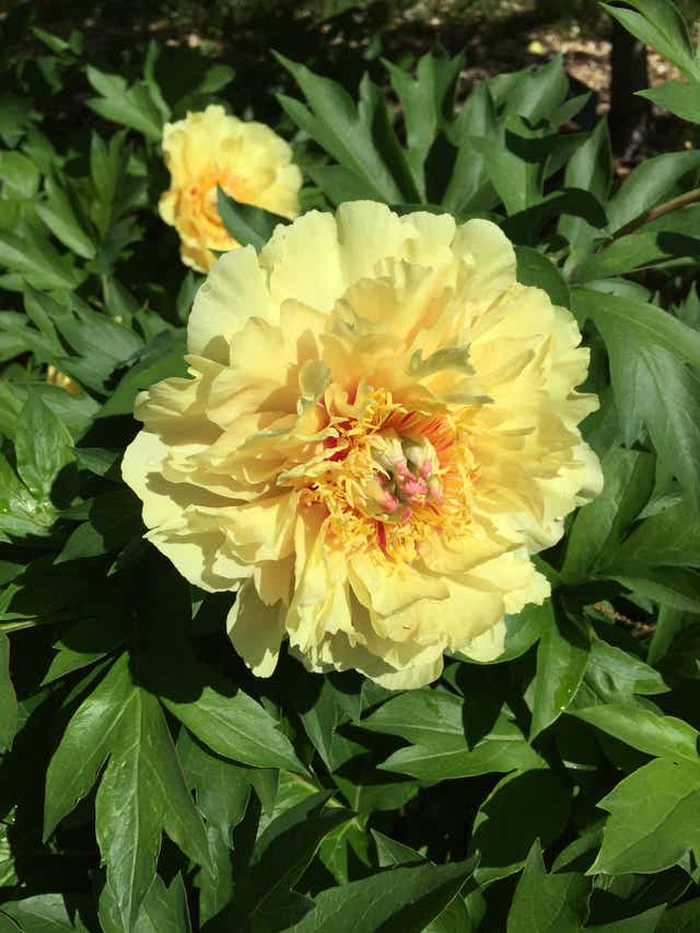 Why The Itoh Peony Is The Ultimate Garden Plant