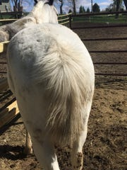Prince is a 7-year-old quarter horse. He lost about 3 feet of his tail hair when someone chopped it April 26, 2017. After incident.