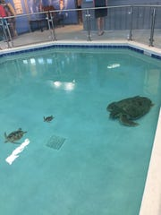 Gigi, at right, is pictured in October at the Navarre Beach Sea Turtle Conservation Center. She was recently transferred to Gulf World Marine Institute in Panama City for medical treatment.