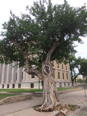 Tom Green County officials are concerned about the stability of the 135-year-old Bois-D'arc by the historic courthouse.