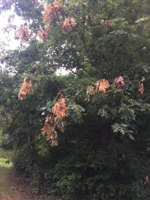 A lot of trees in south Buncombe have branch ends that are turning brown, thanks to the recent infestation of 17-year cicadas.